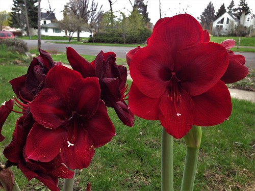 Amaryllis:  Grand Diva (left) and Black Pearl (right)