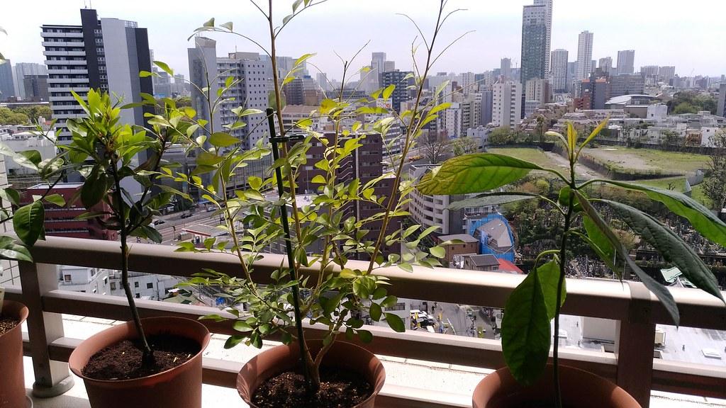 月桂樹、月橘、アボカド鉢植え