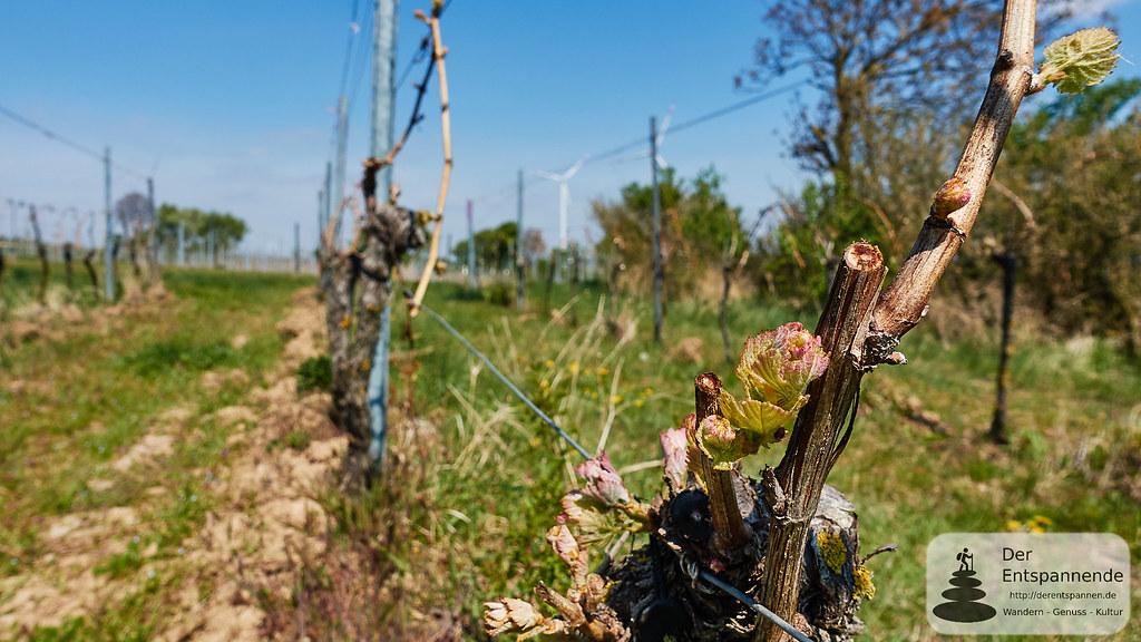 Austreibende Weinreben beim Flörsheim-Dalsheim
