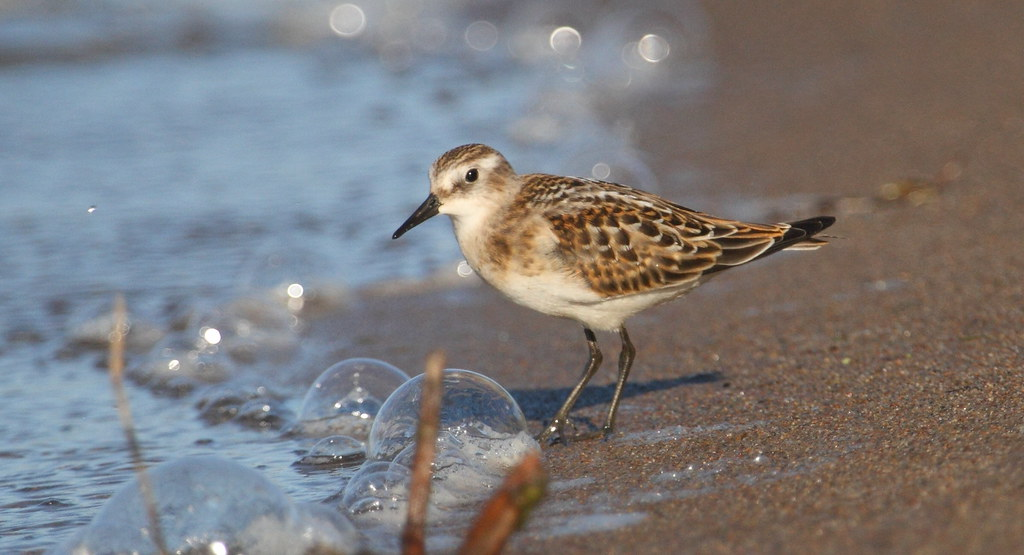 Little stint and bubbles