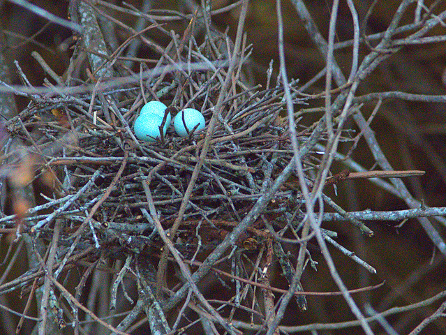 Green Heron 3 eggs nest 6 20170424