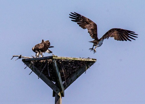 Osprey Nest viewed from kayak | by Blackwater Paddle and Pedal Adventures