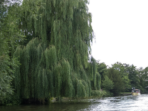 River Avon willow tree | by MShades