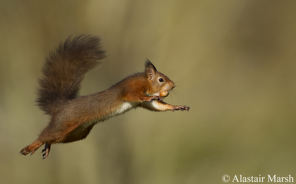 red jump fly squirrel - photo #6