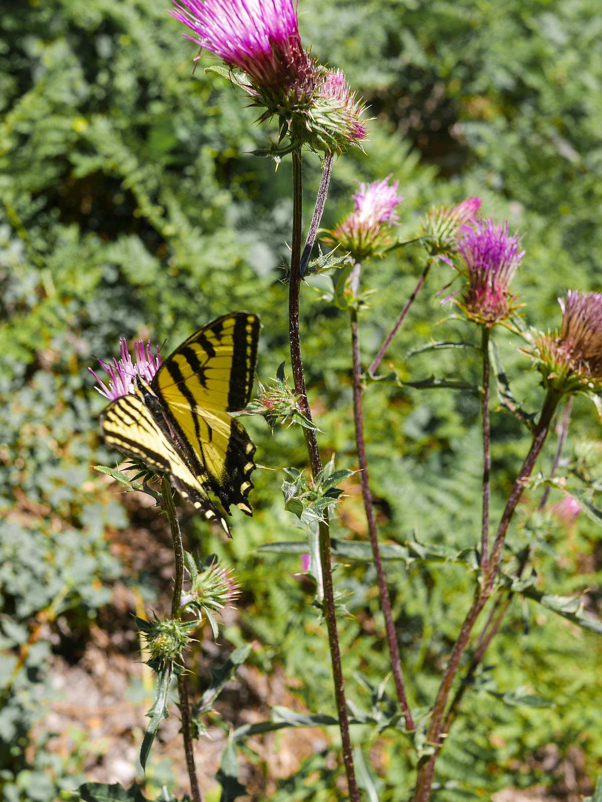 Butterfly on Anderson's Thistle