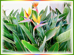 Strelitzia reginae [Crane Flower/Plant, Bird of Paradise, Bird of Paradise flower/plant, Crane-leaved Strelitzia] with gorgeous flowers and greyish-green foliage