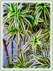 Dracaena reflexa 'Song of India' (Pleomele, Dracaena reflexa variegata, 'Song-of-India', Reflexed Dracaena), with focus on its stems 13 March 2017