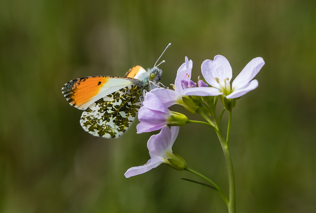 male orange-tip butterfly 100e_354