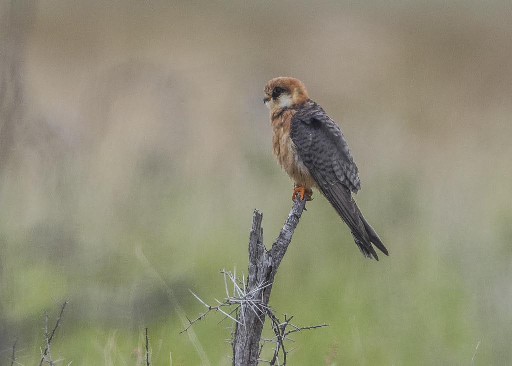 Red-footed Falcon  Falco Vespertinus