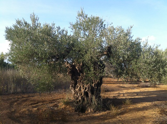 photo of ancient olive tree