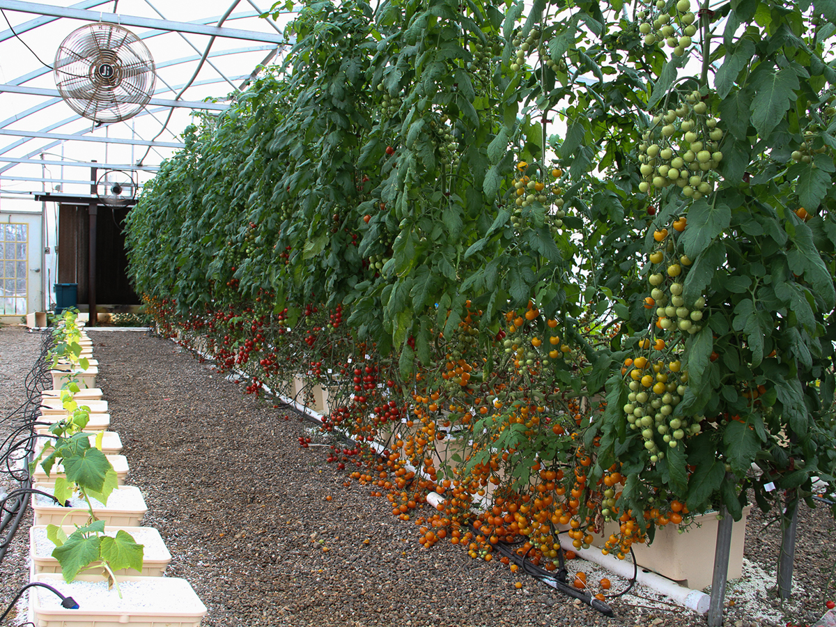 Tomatoes on vines.