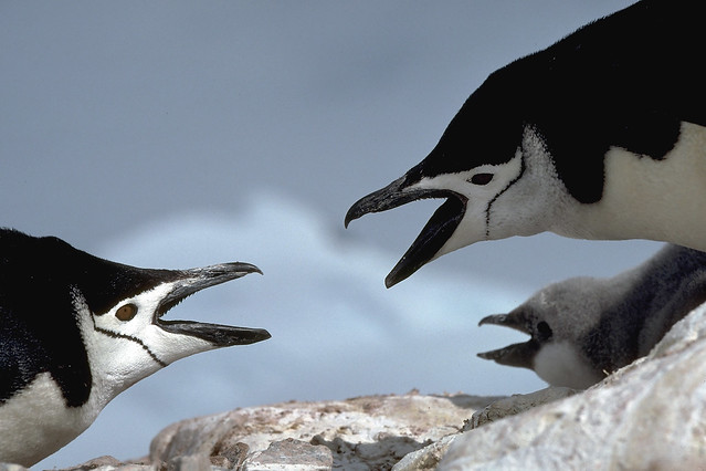 photo of chinstrap penguins