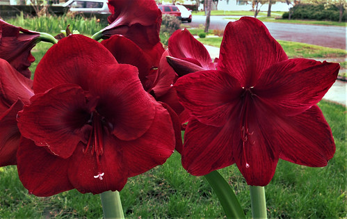 Amaryllis: Black Pearl (left) and Red Pearl (right)