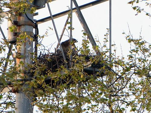 GT Hawk Nest - 2812