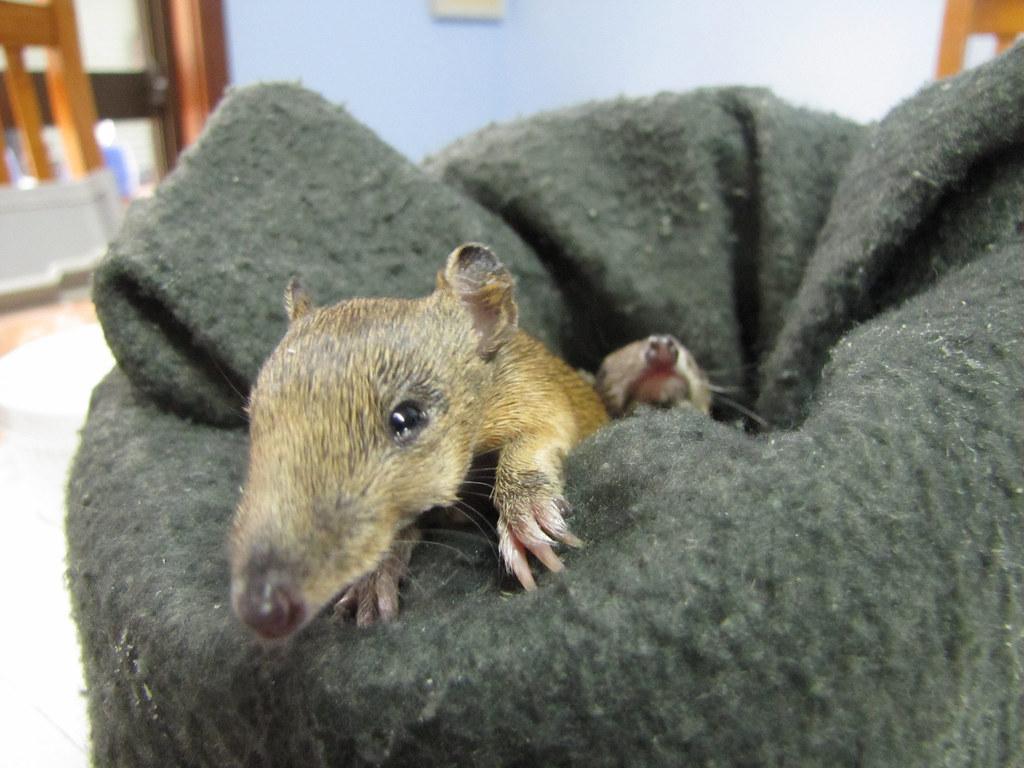 Baby Bandicoots Albany Western Australia The Female