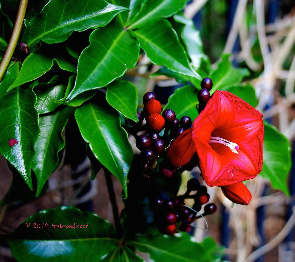 Vine - Cardinal Creeper (Ipomoea horsfalliae) | This vine ...