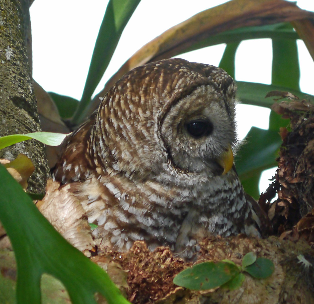 Barred Owl Overview All About Birds Cornell Lab of