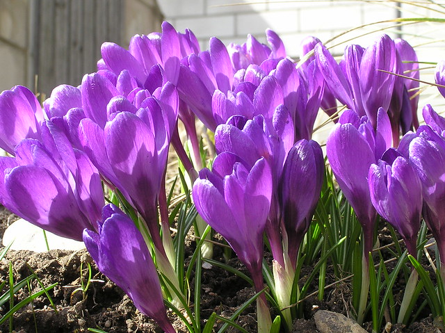 Crocus 'Flower Record'