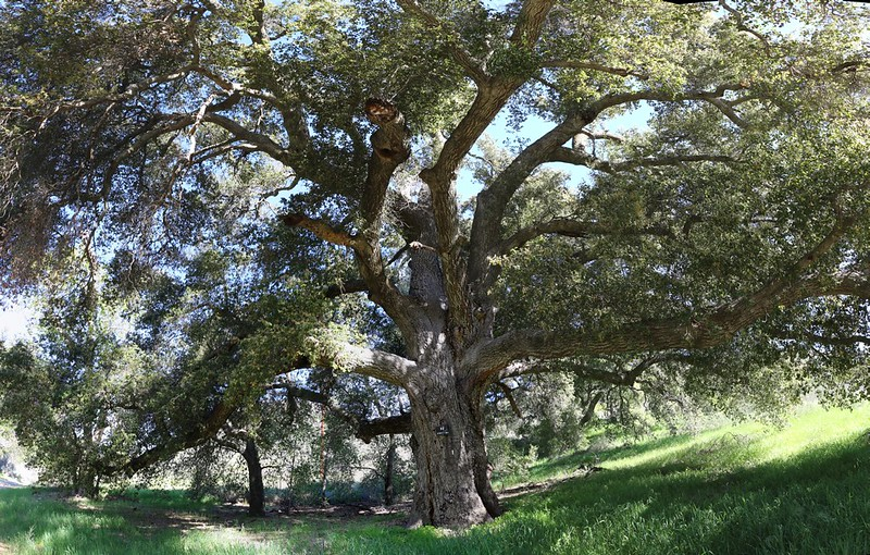 Big beautiful oak as we hiked down Hauser Canyon Road