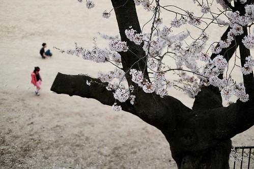 内野の桜 2017 2