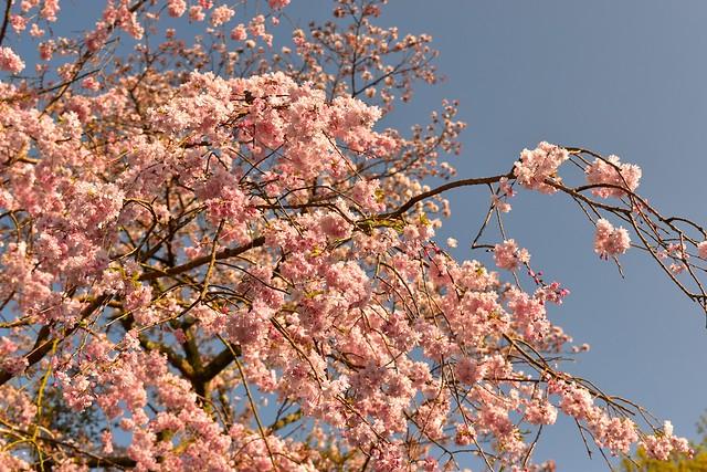 修善寺の桜