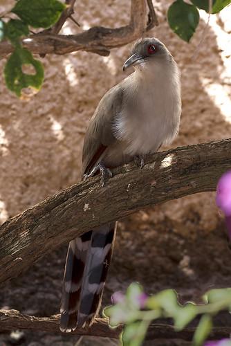 Cuba: Great Lizard-Cuckoo