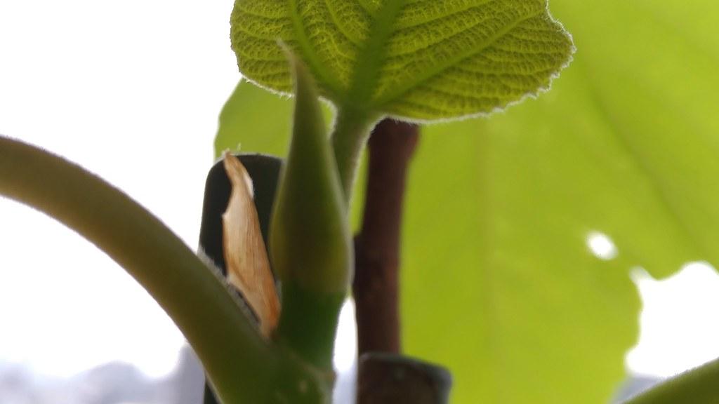 蓬莱柿の芽