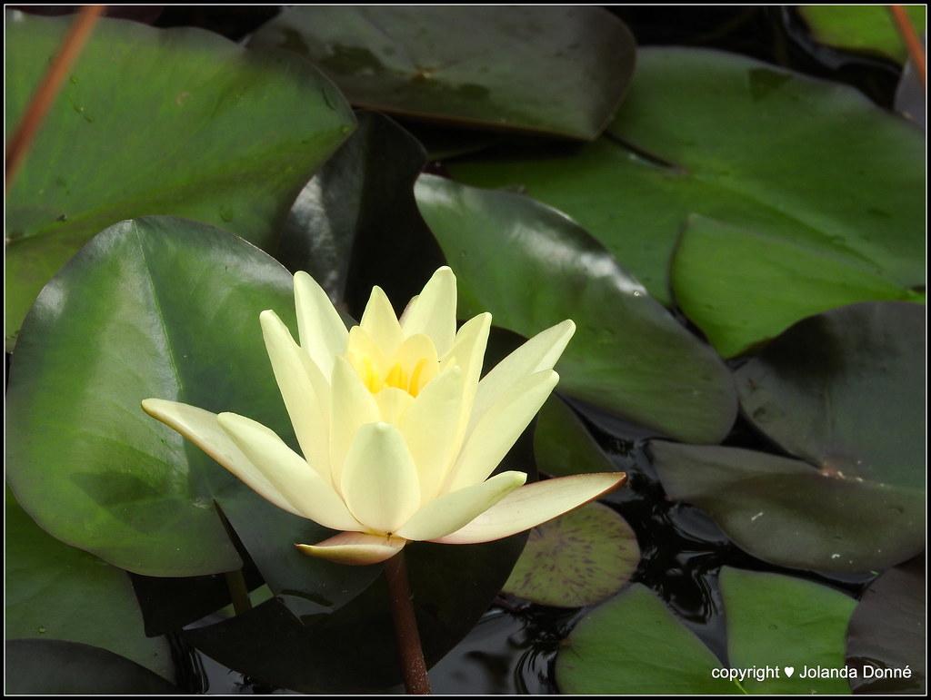 Weie Seerose Nymphaea Alba Depediawikiseeros Flickr