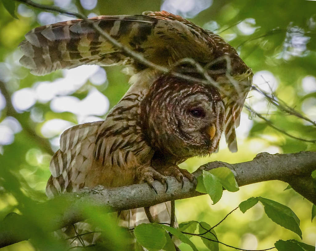 Owl With Open Wings 2 See A Barred Owl From The Corner Of Flickr