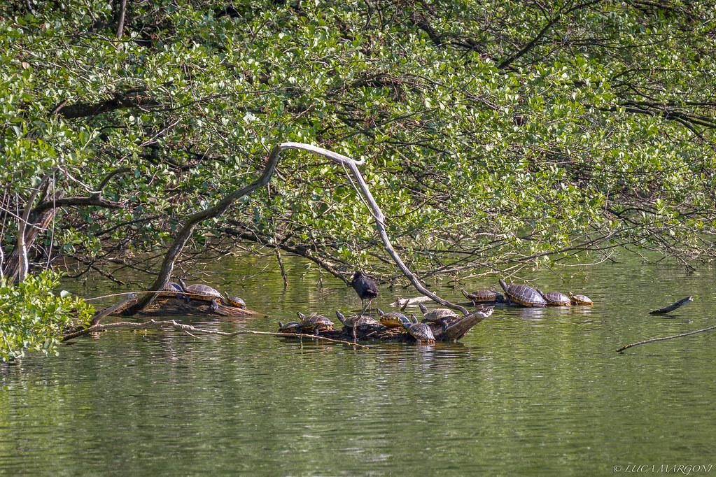 Colonia di tartarughe al lago di caldonazzo questa for Lago tartarughe