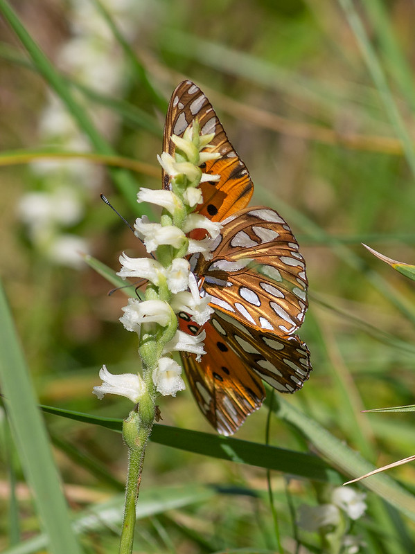 Gulf fritillary on Spiranthes cernua