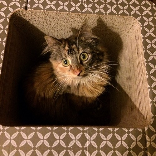 Box of crazy. #wyllastout #permakitten #kitten #catsofinstagram #cat #ibkc