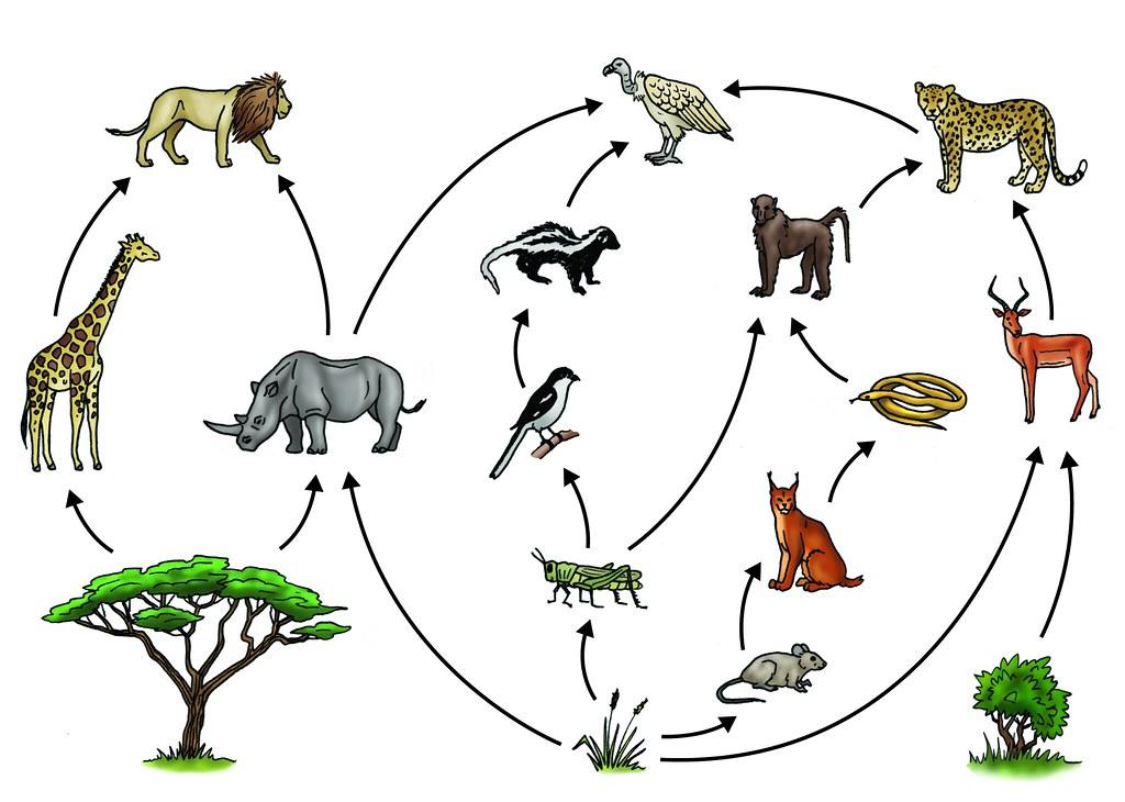 Savanna food web | Illustration used in Gr 4-6 Natural ...