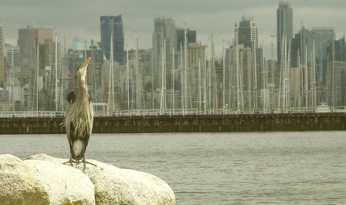 Great blue heron on Jericho beach | by olicanae