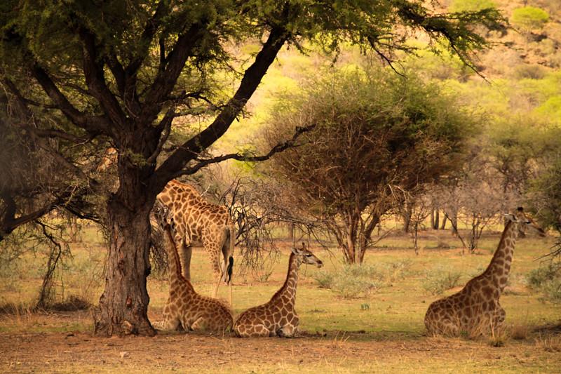 Giraffenherde Safari