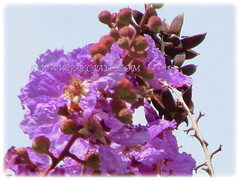 Spectacular purple flowers of Lagerstroemia speciosa (Giant crape-myrtle, Queen's crape-myrtle, Queen's Flower, Pride-of-India) with showy clusters of purple blossoms, 11 April 2011