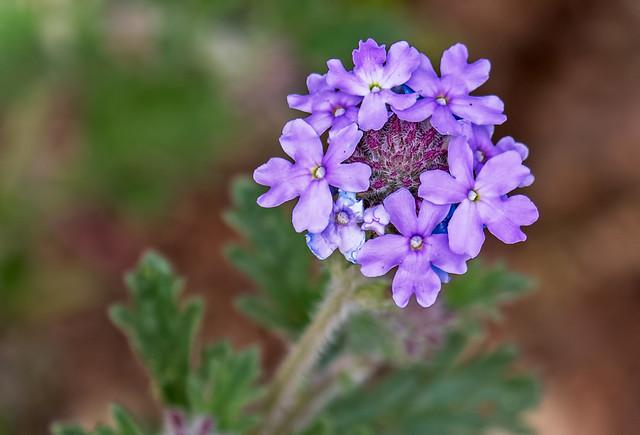 z-Flower-31-7D2-040817