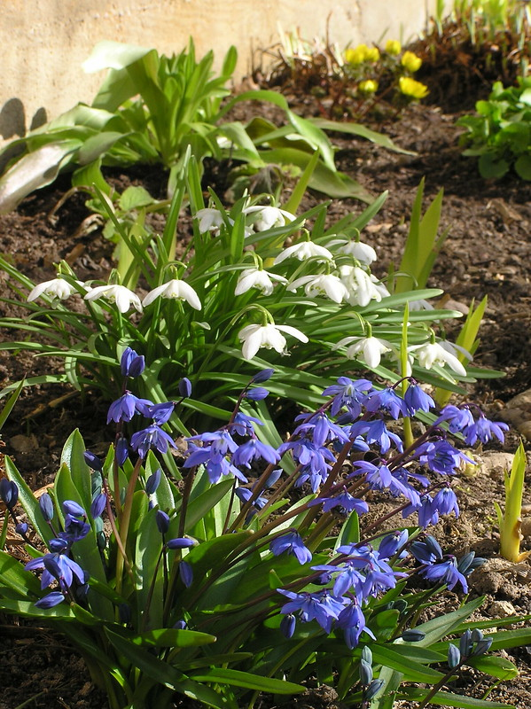 Scilla sibirica & Galanthus nivalis 'Flore Pleno'
