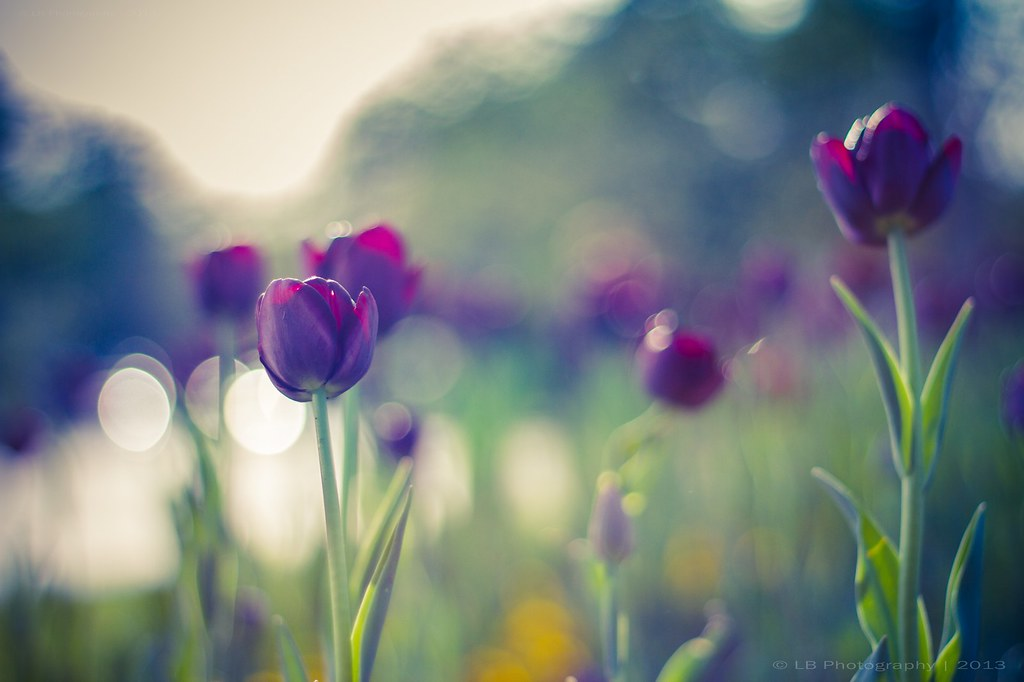 Vintage Tulips | Share my work anywhere you wanted, just