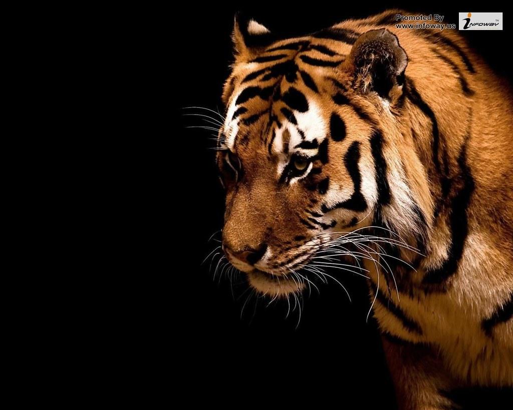Tiger Hd Desktop Wallpaper