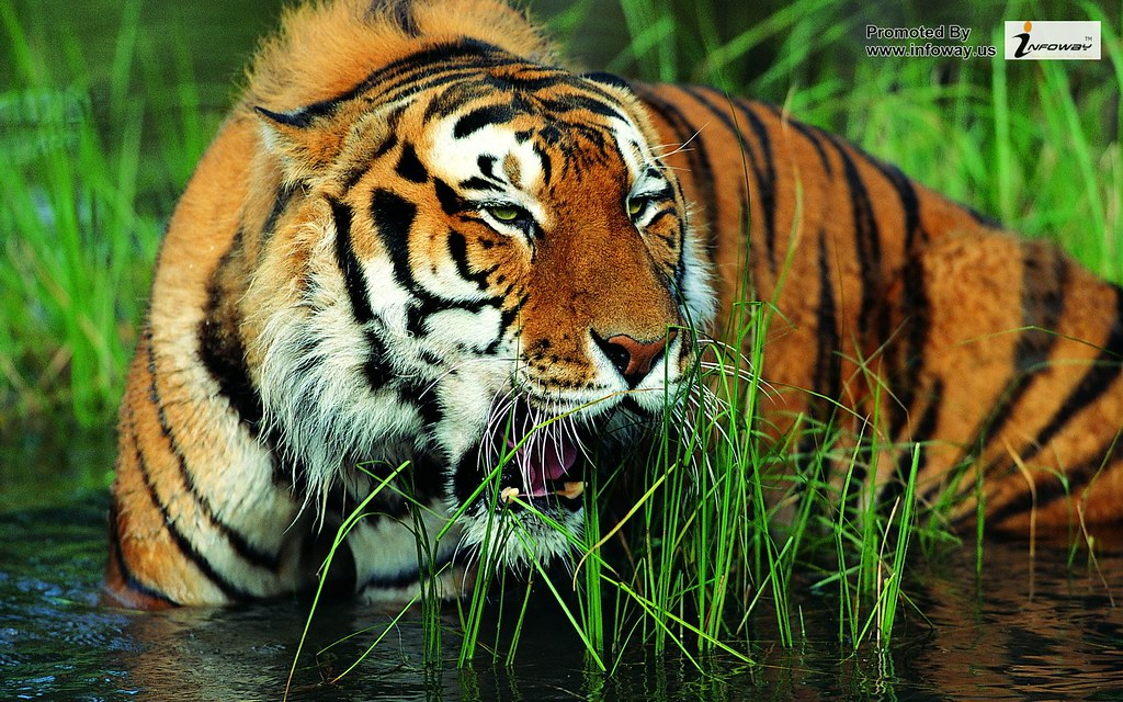 Tiger Wallpaper Hd Widescreen