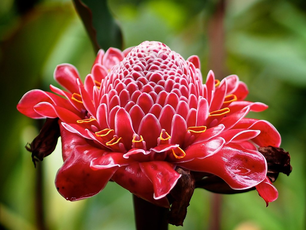 Image result for Torch Ginger (Etlingera elatior)