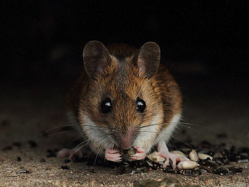 wood mouse | by adamzy