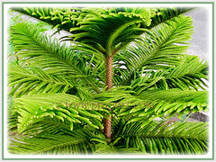 The exotic foliage of Araucaria heterophylla (Norfolk Island Pine, Star Pine, Triangle Tree, Living Christmas Tree), 5 Aug 2011