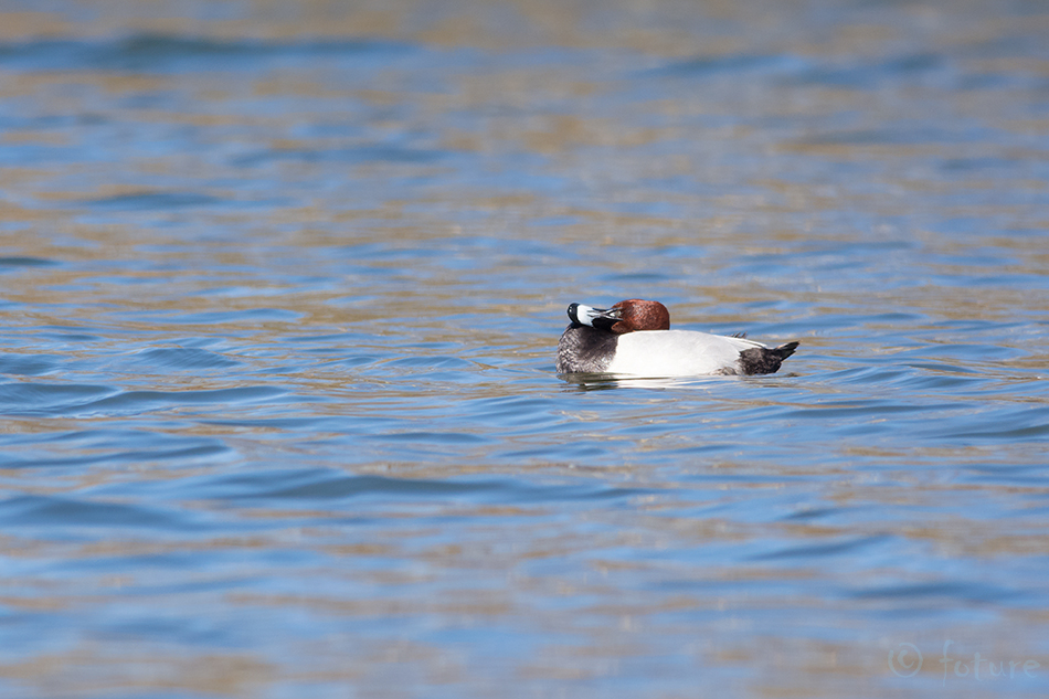 Punapea, vart, Aythya, ferina, Common, Pochard, European, Eurasian, Northern, male, Estonia, Kaido Rummel