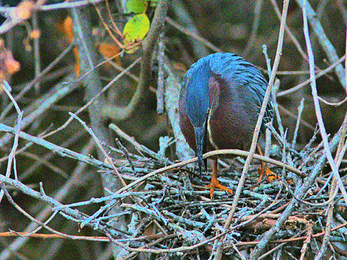 Green Heron at nest 3-20170406