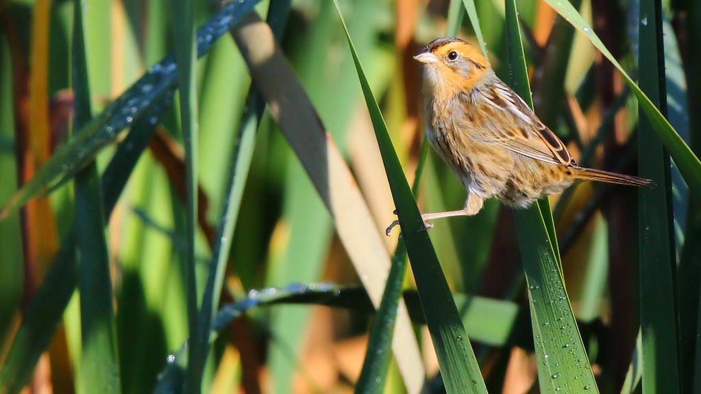 Nelsons Sparrow Overview All About Birds Cornell Lab of