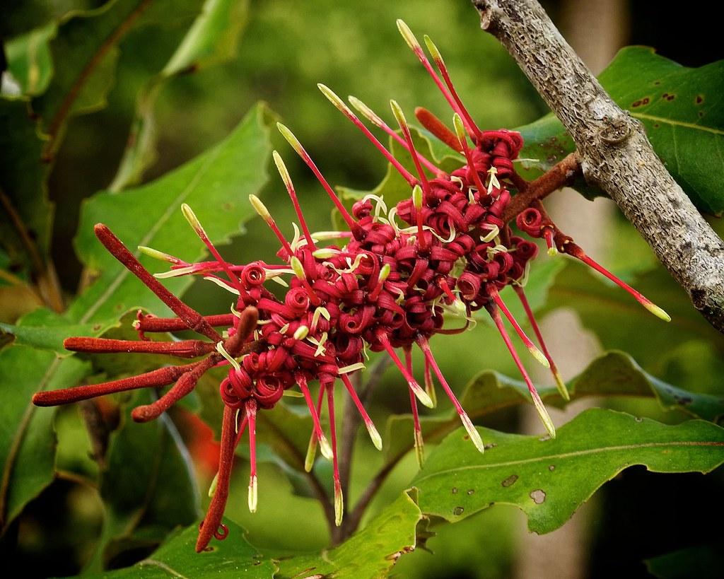 Free Front Elevation Images : Rewarewa knightia excelsa flower