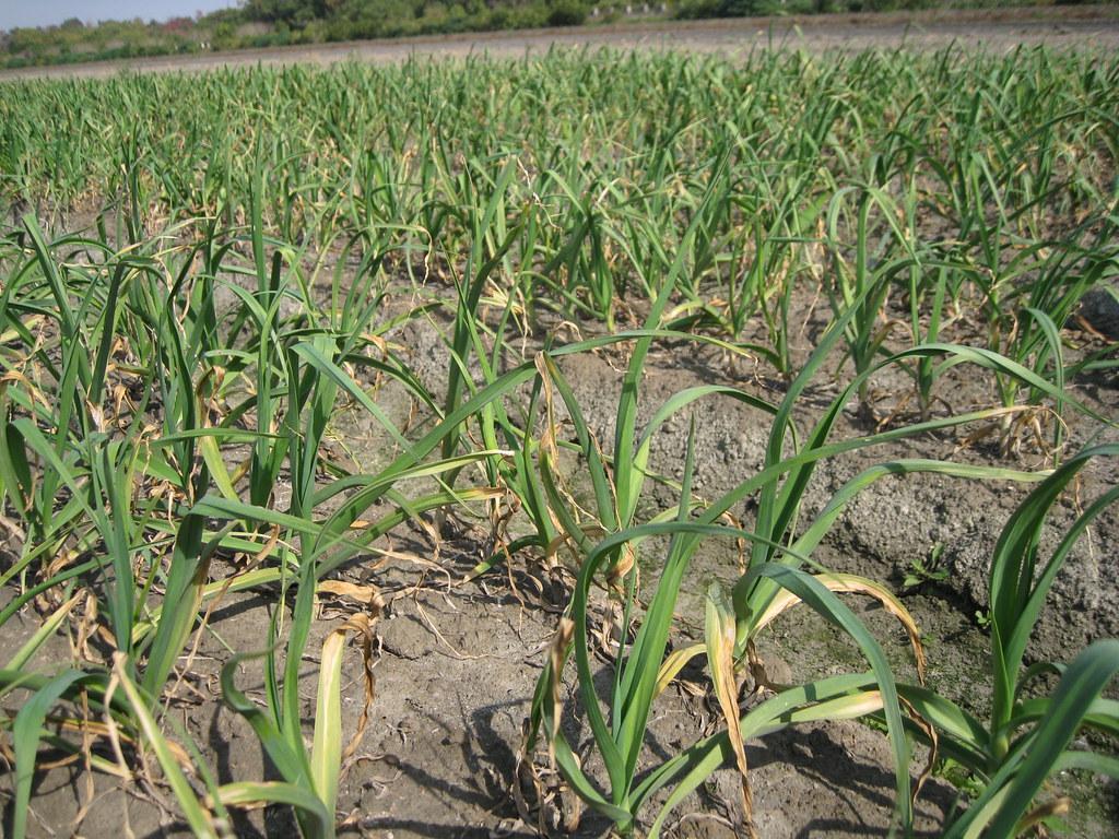 受氟化物影響的蒜苗作物