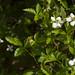 dewberry brambles